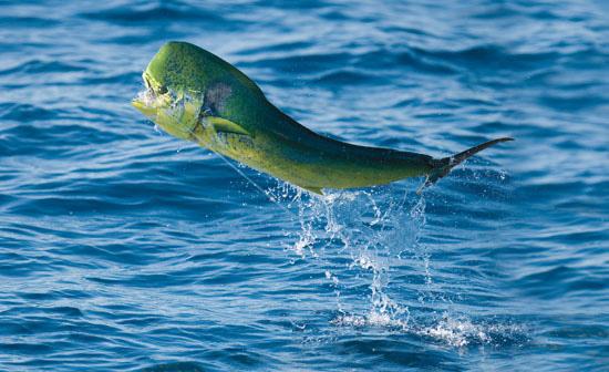 чем питается рыба дорадо всё ещё тот