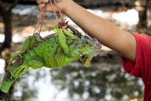 Iguana for Sale in El Salvador