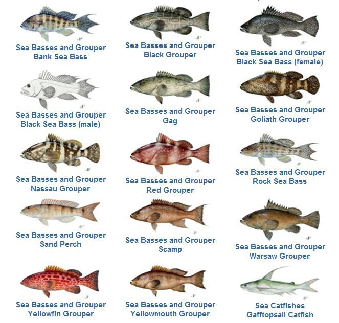Grouper Fishing Species