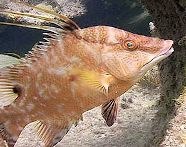 hogfish Florida Keys Foods
